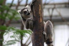 Ring tailed lemur climbing Stock Images