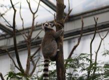 Ring tailed lemur climbing Royalty Free Stock Image