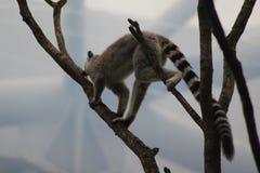 Ring tailed lemur climbing Stock Photo