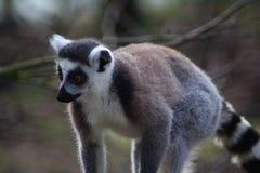 Ring tailed lemur close Stock Photo