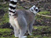Ring tailed lemur close Stock Photos