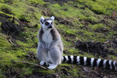 Ring tailed lemur close Stock Images