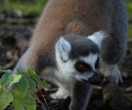 Ring tailed lemur close Stock Photography