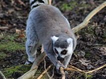 Ring tailed lemur close Royalty Free Stock Images