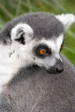Ring-tailed Lemur close-up. Close-up head shot of a Ring-tailed Lemur showing it's bright orange eyes Stock Photo