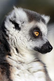 Ring-Tailed Lemur Close-up Royalty Free Stock Photo