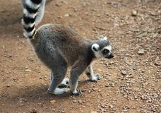 Ring tailed lemur Royalty Free Stock Images