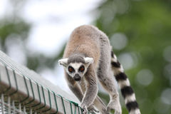Ring tailed lemur close up Stock Images