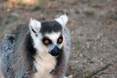 Ring-tailed lemur close-up Royalty Free Stock Image
