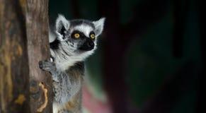 Ring-tailed Lemur Stock Image
