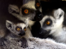 Ring-tailed Lemur Royalty Free Stock Images