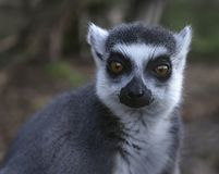 RIng Tailed Lemur - close up royalty free stock images