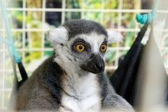 Ring-tailed lemur close up stock photos