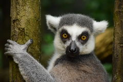 Ring-tailed lemur. Close up of two ring-tailed lemur at Singapore Zoo Royalty Free Stock Image