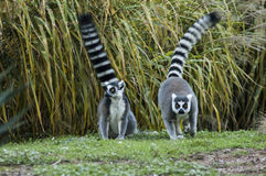 A ring-tailed lemur couple. Two cute lemurs running in the park royalty free stock photo