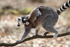 Ring-tailed lemur with cub Royalty Free Stock Images