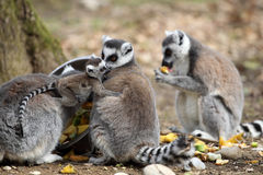 Ring-tailed lemur with cub Royalty Free Stock Photography