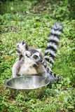 Ring-tailed lemur with cub are fed from the bowl. Ring-tailed lemur - Lemur catta - with cub are fed from the bowl. Beauty in nature. Animals in captivity Stock Image