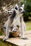Ring tailed lemur with cubs. Lemur mums often carry other mum's cubs too Stock Image