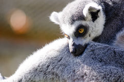 Ring-Tailed Lemur. A Ring-Tailed Lemur cuddles a friend in the sunshine Stock Photos