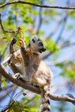 Ring Tailed Lemur die bessen in boom eten Royalty-vrije Stock Afbeelding