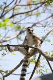 Ring Tailed Lemur die in boomtakken zonnebaden Royalty-vrije Stock Fotografie