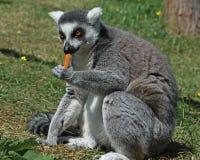 Ring Tailed Lemur die een wortel eten stock afbeelding