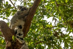 Ring-tailed Lemur dozing. In a shadowed tree on a very sunny day royalty free stock photography