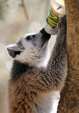 Ring tailed lemur drinking Royalty Free Stock Image