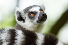 Ring-tailed lemur in a dutch zoo. Ring-tailed lemur (Lemur catta) in a dutch zoo stock photos