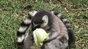 Ring-tailed lemur eat Lettuce stock footage