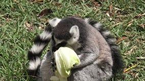 Ring-tailed lemur eat Lettuce stock footage