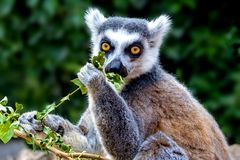 Ring-tailed Lemur Eating Stock Image