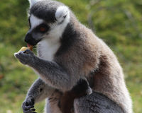 Ring tailed lemur eating Stock Photography