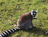 Ring tailed lemur eating Stock Photos