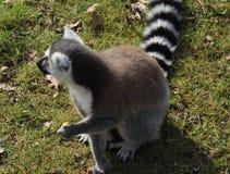 Ring tailed lemur eating Stock Image