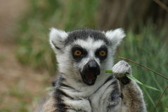 Ring-tailed lemur eating Stock Photos