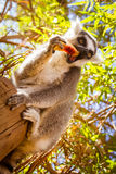 Ring tailed lemur eating fruit Stock Image