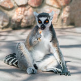 Ring-tailed lemur eating on the ground Royalty Free Stock Image