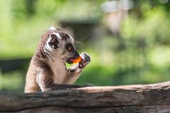 Ring-tailed lemur eating his lunch at zoo stock photo
