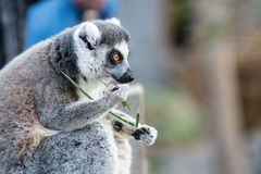 Ring-tailed Lemur Eating. A Ring-tailed lemur sits on the ground eating and watching it's surroundings Royalty Free Stock Photo