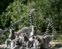 Ring-tailed Lemur family. A ring-tailed lemur family is enjoying the sun Stock Photo
