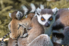 Ring-tailed lemur family Royalty Free Stock Images