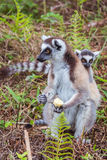 Ring-tailed lemur family Royalty Free Stock Photo