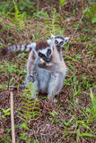 Ring-tailed lemur family Royalty Free Stock Image