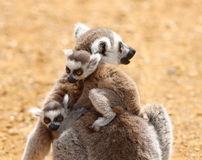 Ring Tailed Lemur family. Close up of a mother Ring Tailed Lemur and babies Stock Photos