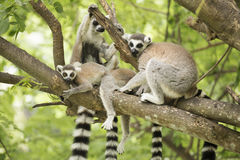 Ring-tailed lemur with family Stock Image