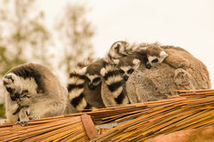 Ring Tailed Lemur Family Royalty Free Stock Photography