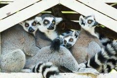 Ring-tailed lemur family (Lemur catta) Royalty Free Stock Photo