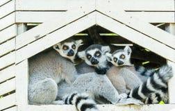 Ring-tailed lemur family (Lemur catta) Stock Image
